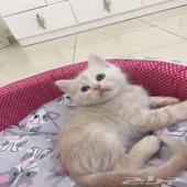 قطه صغيرة للبيع