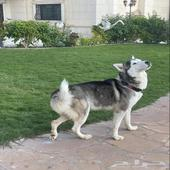 كلب مالموت - هاسكي الاسكا للبيع