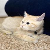 قطة نوع الاب سكواتش نوع الام شيرازي العمر 3 شهور