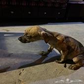 للبيع كلبه بيتبول حاره ولعوبه السعر 1000 ريال