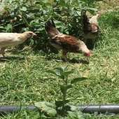 دجاج حضان سراه عبيده