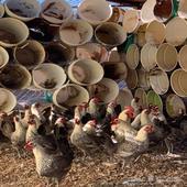 للبيع دجاج فيومي بياض شرط