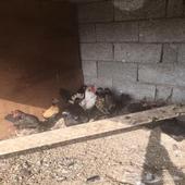 دجاج كويتي وعربي للبيع