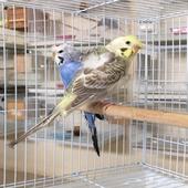 بادجي ( طيور الحب ) هوجو