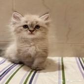 قط قطط قطوه قطه شيرازي همليا بسه