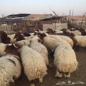 اضاحي غرب الرياض وادي لبن