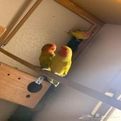 بيع طيور روز عدد 6