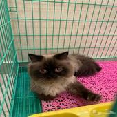 قط هملايا بيكي فيس لتزاوج(بيور)