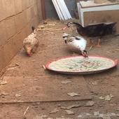 دجاجة وجوز بط للبيع