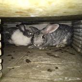 زوج ارانب منتج شرط