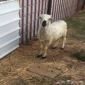 خروف كفو شرط للبيع