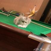 قطط جميلة للبيع