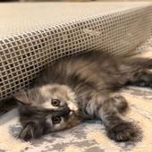 قطه شيرازيه العمر شهرين للبيع .
