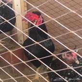 دجاج بلدي (حساوي) للبيع