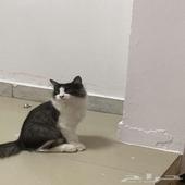 قطط شيرازي ذكر وانثى العمر 3 شهور ونص