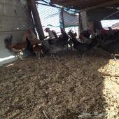 للبيع دجاج بلدي وفيومي بياض شرط