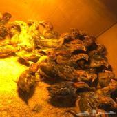 صوص دجاج فيومي اصل ( تربية المزرعه )