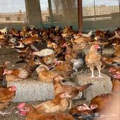 دجاج بلدي جانبو العمر شهرين ونص 2000 حبه
