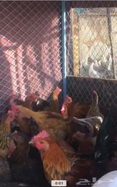 دجاج بلدي بياااض
