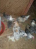 دجاج فيومي