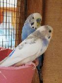 زوج طيور حب