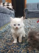 قطط صغرة للبيع