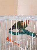 زوج طيور روز منتج