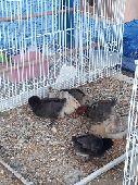 دجاج للبيع العدد9