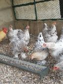 دجاج براهما سبلاش