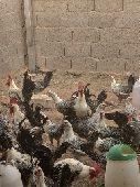 للبيع دجاج فيومي منتج وصحة عال العال