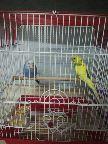 طيور الحب عصافير