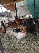 للبيع دجاج بلدي مشكل