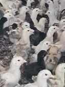 فروخ دجاج بلدي العمر 20 يوم (صوص)