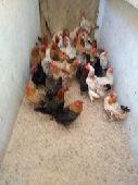 دجاج بلد