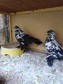 الرياض -  استمارة عرض طيور