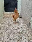 دجاج براهما توب