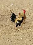 دجاج بلدي اصل ليس فقاسه