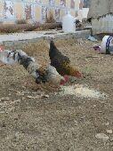 دجاج النماص