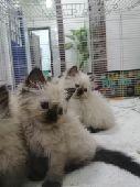 قطط هملايا شوكلت
