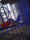 للبيع طيور الحب بادجي مع قفص جميل