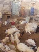 رومي 9 صوص عمر 3 شهور 4 دجاجة مع فحلهن