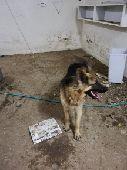 كلب جيرمن شيبرد بوليسي