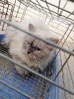 مكه - قطه هملايا أنثى عمرها