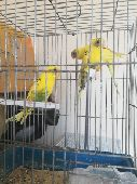 3 طيور بادجي