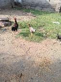 ديك ودجاجه