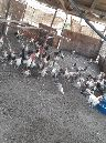 دجاج فيومي بيااض