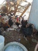 دجاج من 90الى تقريبا120 كبير