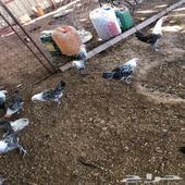 بشاير دجاج فيومي للبيع
