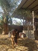كلب جيرمن اصيل ورك لاين شورت هير عالشرط