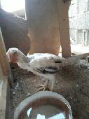 دجاج فارسي تووب